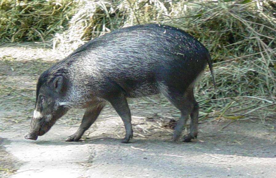 Visayan Pig 001 by Elluka-brendmer