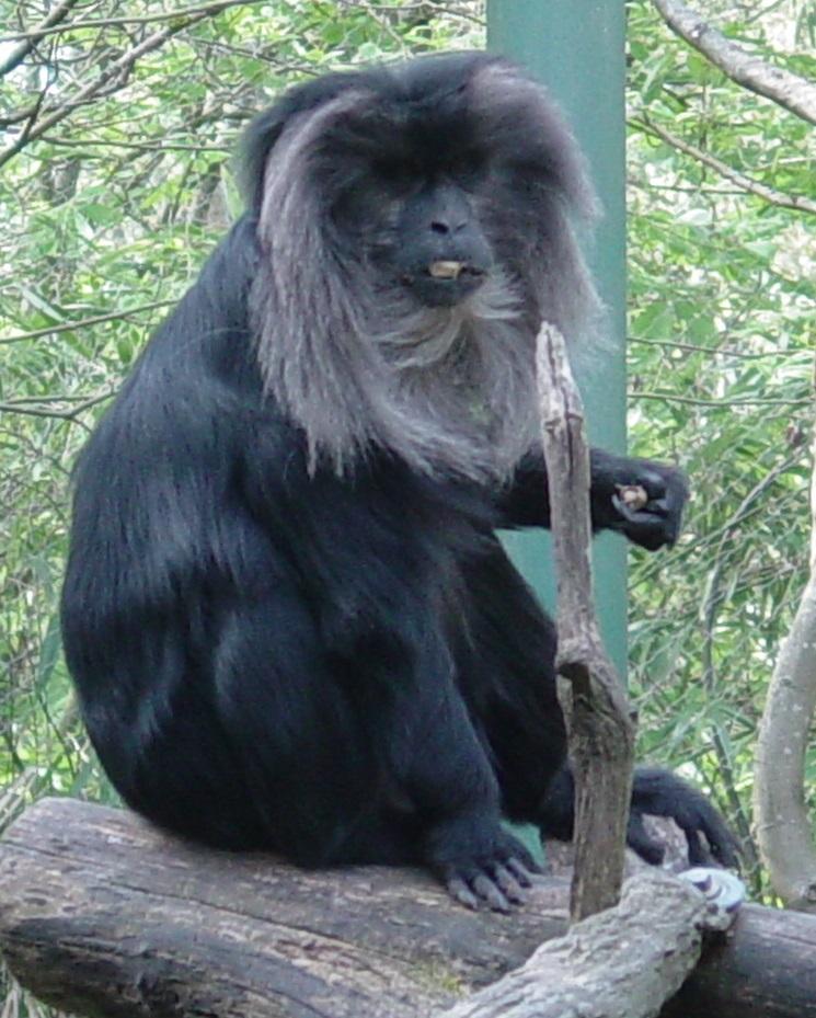Lion Tail Macaque 002 by Elluka-brendmer