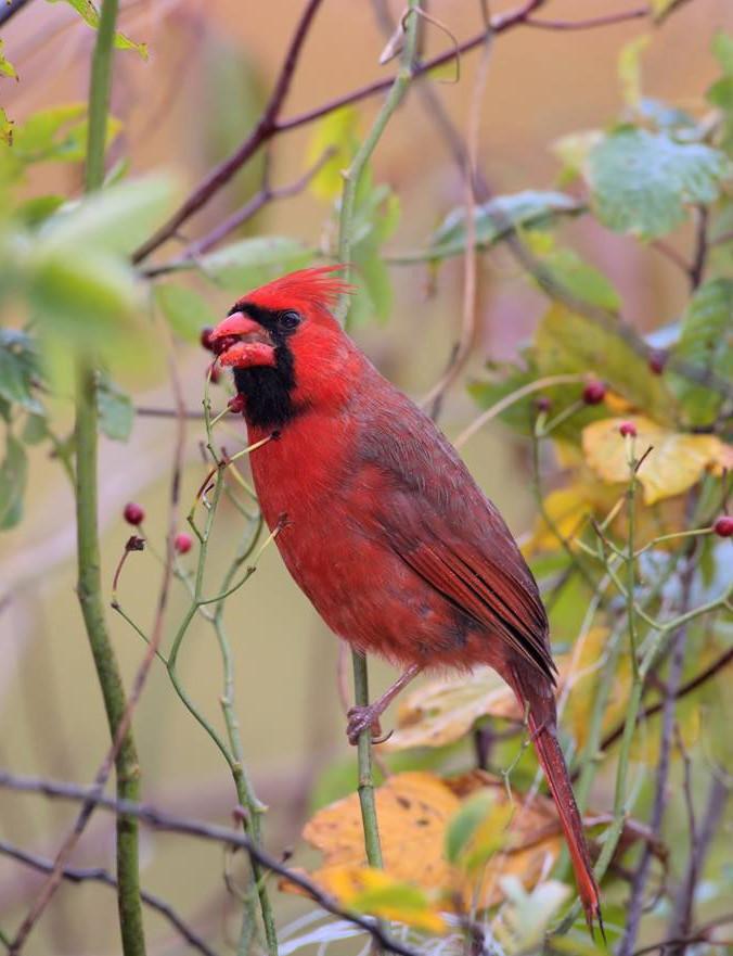 Cardinal 002 by Elluka-brendmer