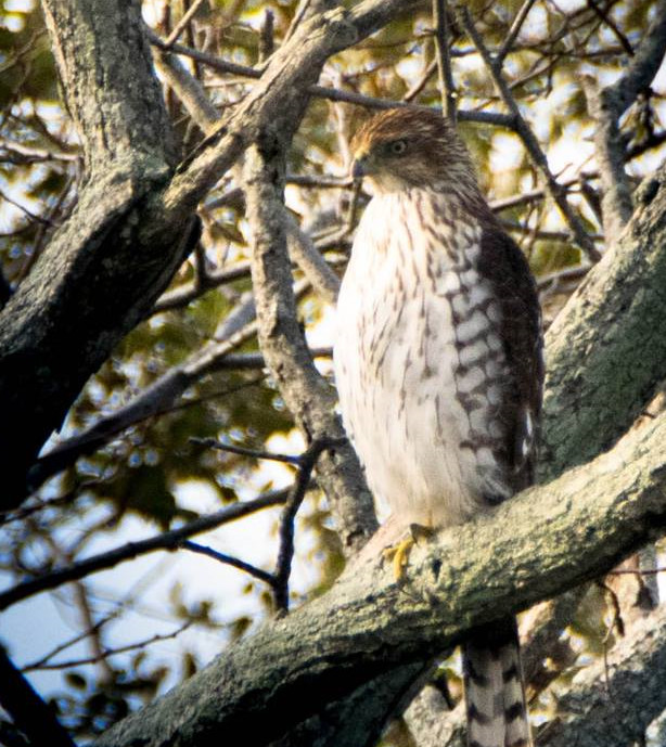 Coopers Hawk 003 by Elluka-brendmer