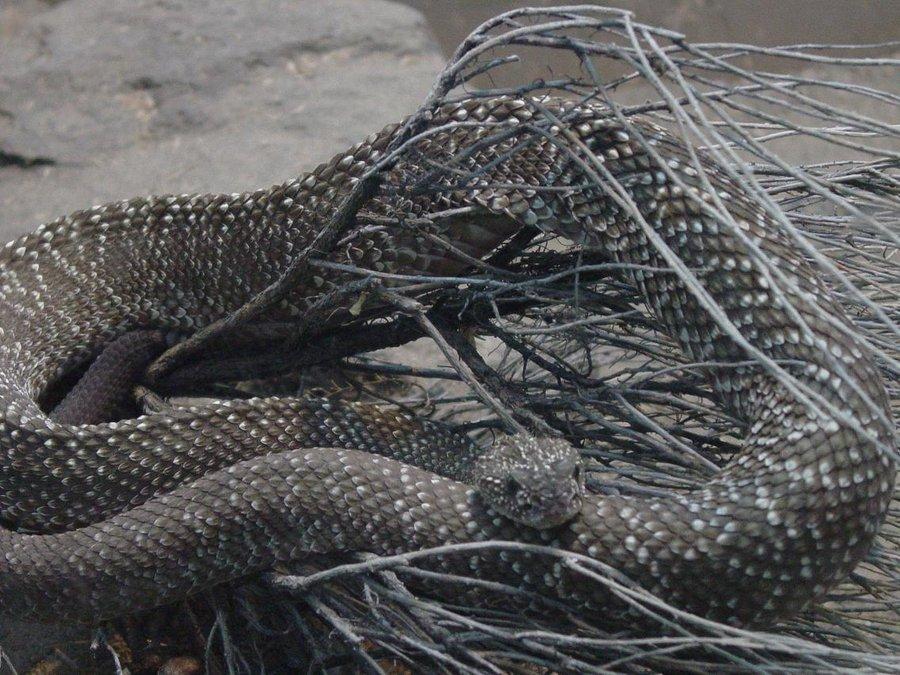 Urocoan Rattlesnake 001 by Elluka-brendmer