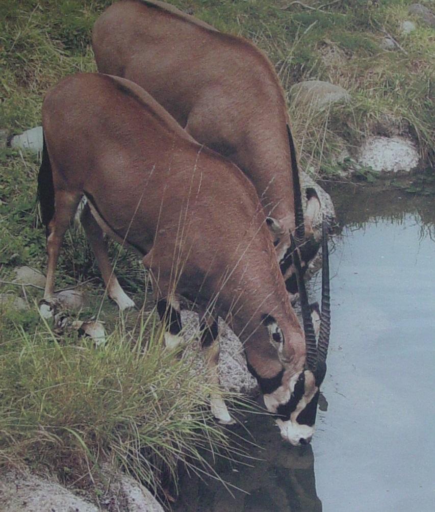 Fringed Eared Oryx 003 by Elluka-brendmer