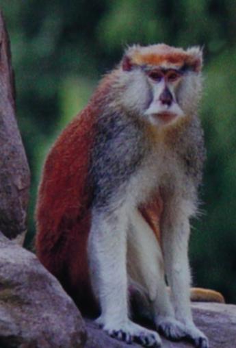 Patas Monkey 009 by Elluka-brendmer