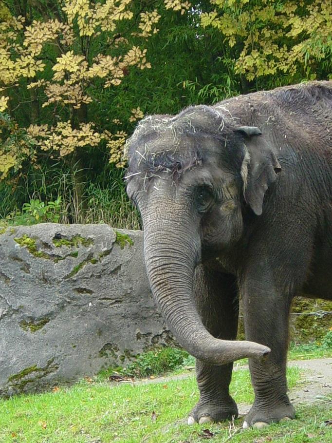 Asian Elephant 008 by Elluka-brendmer
