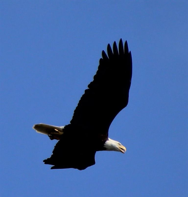 American bald Eagle 007 by Elluka-brendmer