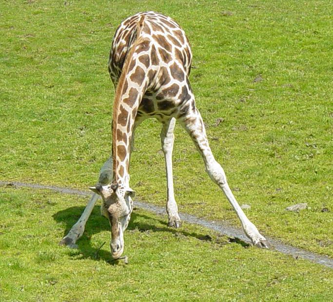 Giraffe 007 by Elluka-brendmer