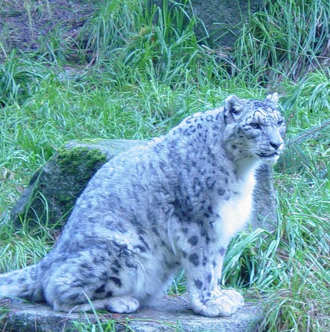 Snow Leopard 006 by Elluka-brendmer