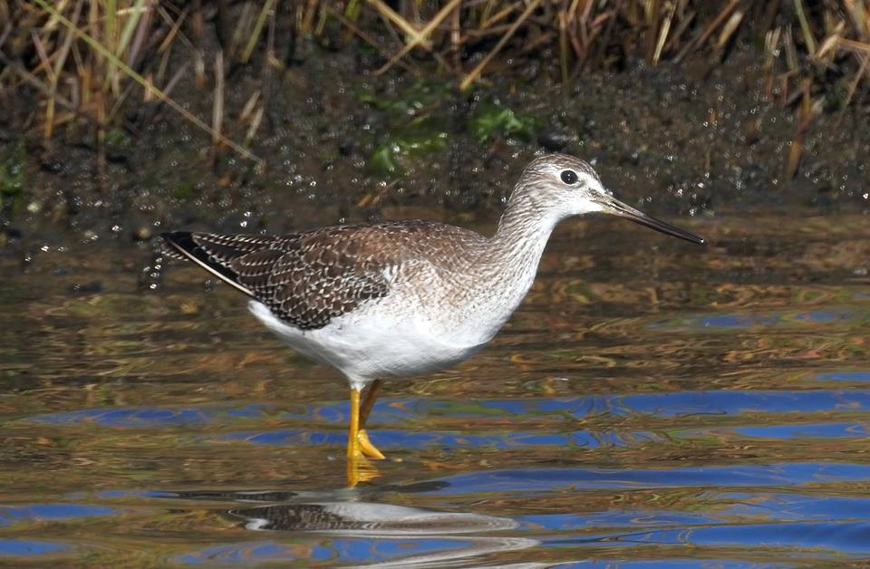 Yellowlegs 001 by Elluka-brendmer