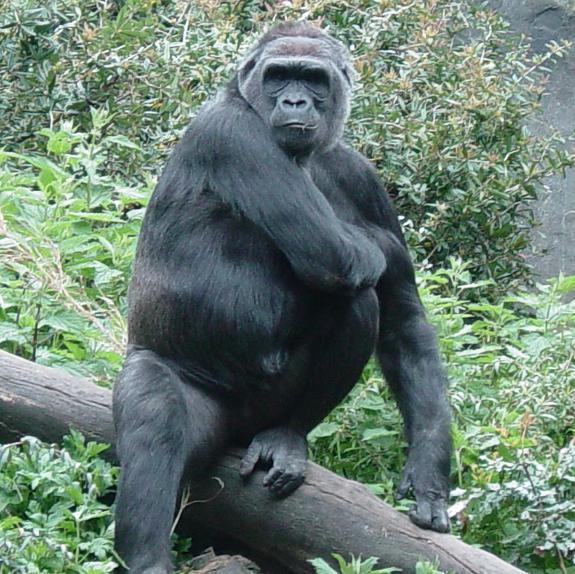 Gorilla 005 by Elluka-brendmer