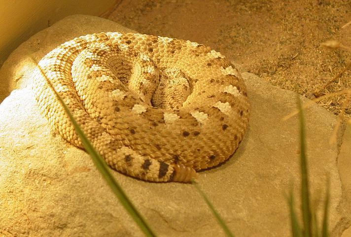 Side Winder Rattlesnake 001 by Elluka-brendmer