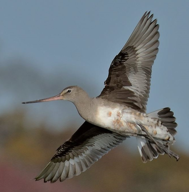 Godwit 003 by Elluka-brendmer