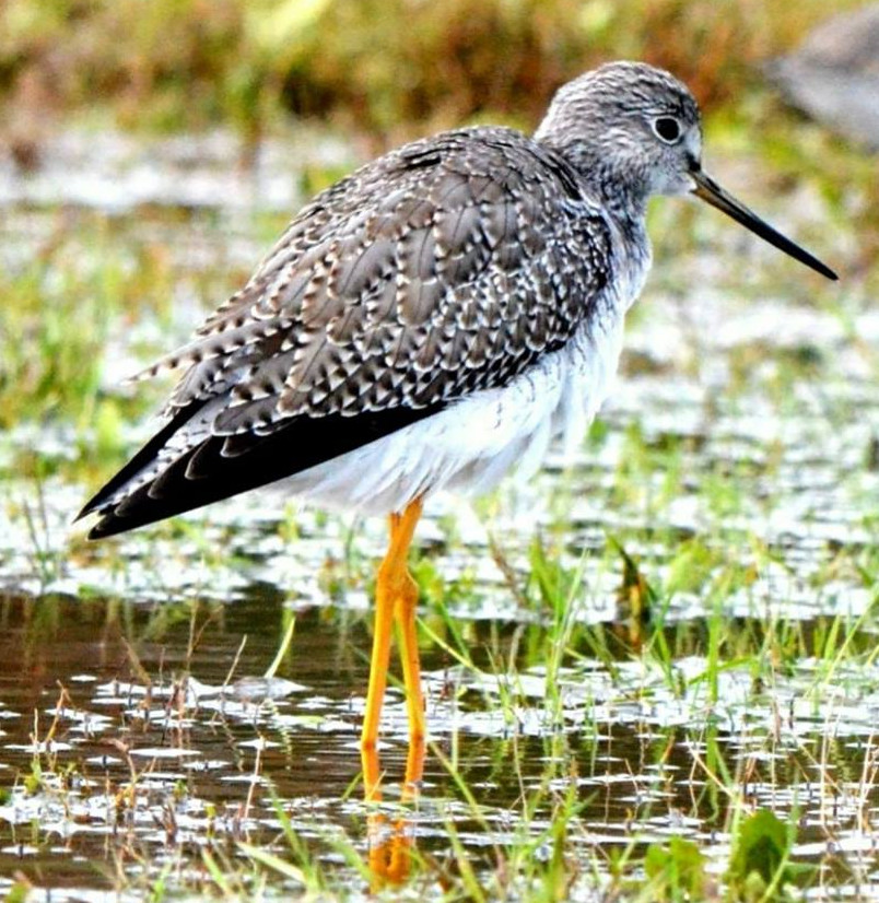 Yellowlegs 002 by Elluka-brendmer