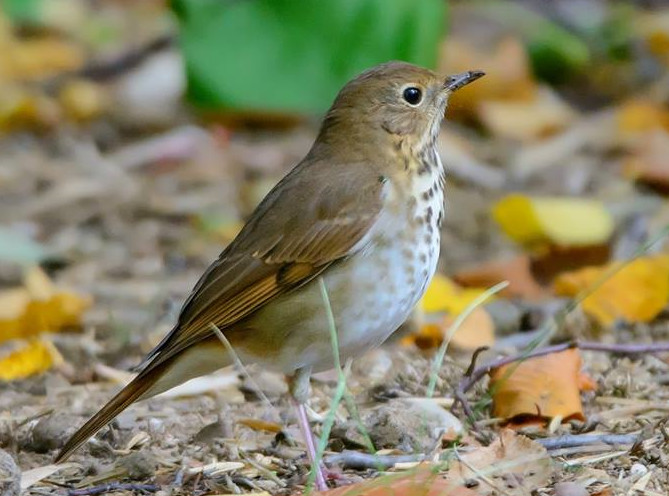 Hermit Thrush 001 by Elluka-brendmer