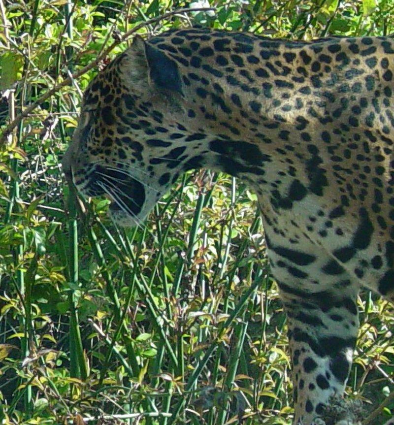Jaguar 006 by Elluka-brendmer
