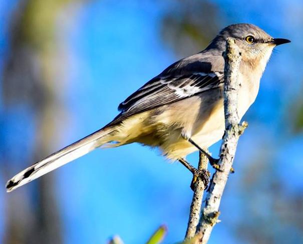 Mockingbird 001 by Elluka-brendmer