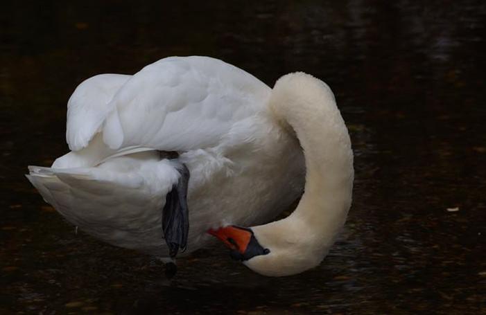 Mute Swan 001 by Elluka-brendmer