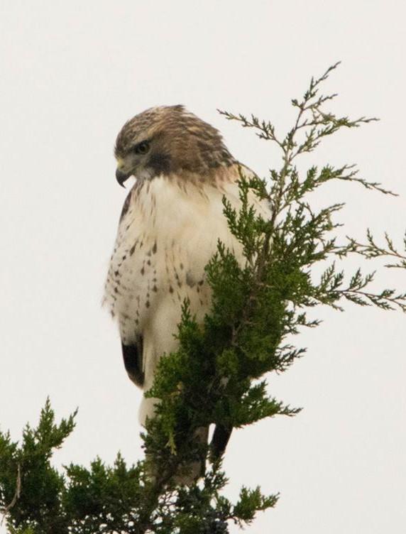 Red Tail Hawk 001 by Elluka-brendmer