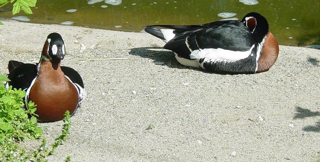 Red Breasted Goose 003 by Elluka-brendmer