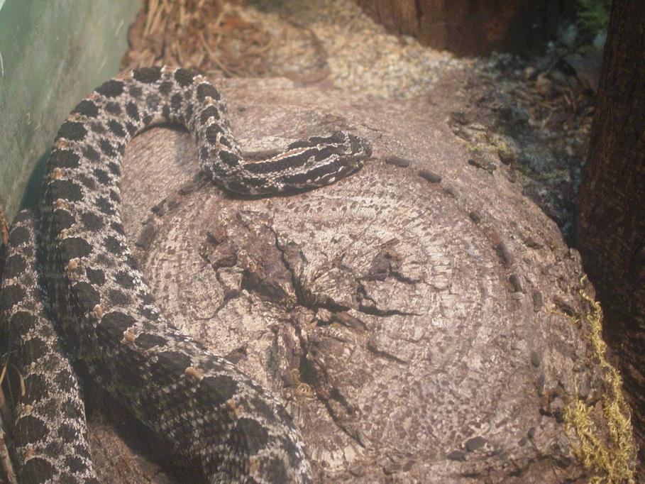 Speckled Rattlesnake 001 by Elluka-brendmer