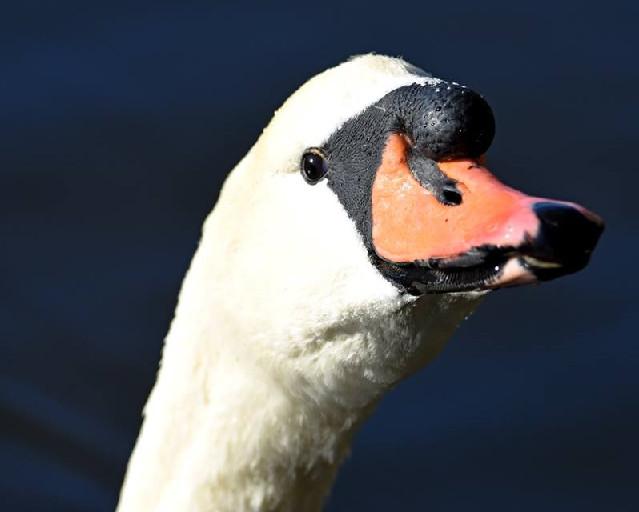 Mute Swan 002 by Elluka-brendmer