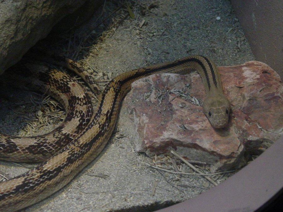 Trans Pecos Rattlesnake 003 by Elluka-brendmer