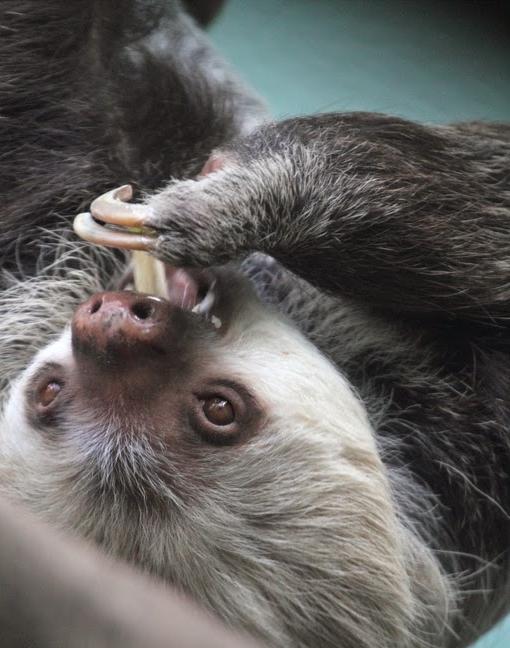 Sloth 002 by Elluka-brendmer