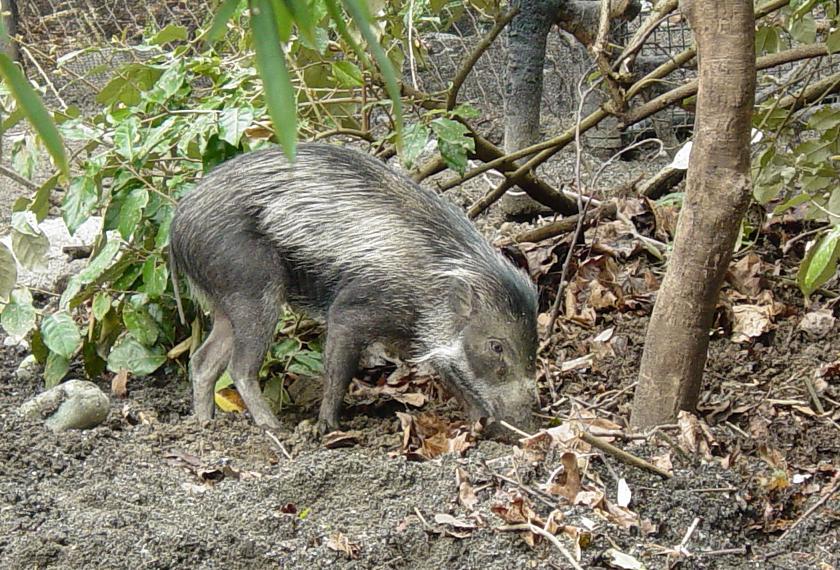Visayan pig 002 by Elluka-brendmer