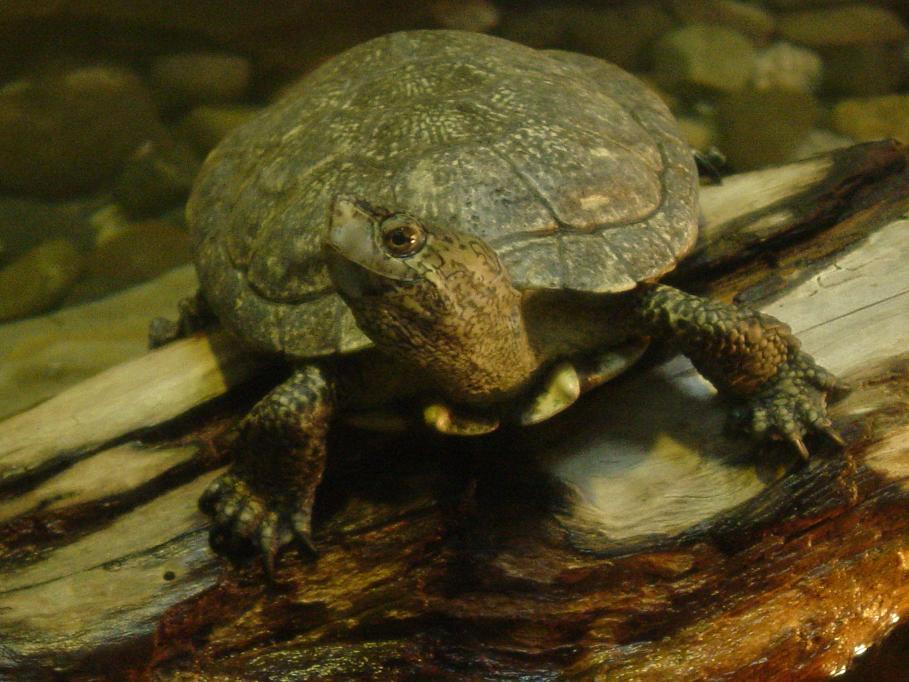 Western Pond Turtle 002 by Elluka-brendmer