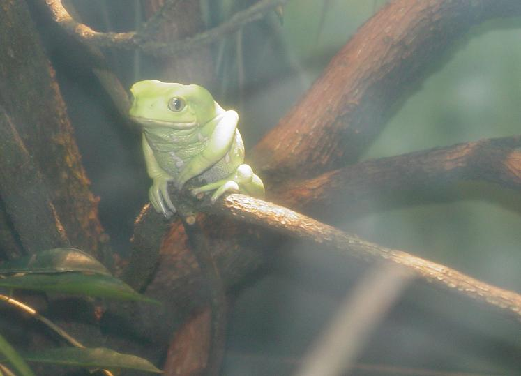 Waxy Monkey Frog 002 by Elluka-brendmer