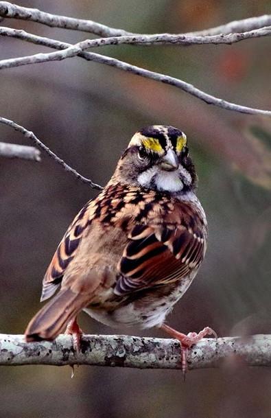 White Throated Sparrow 001 by Elluka-brendmer