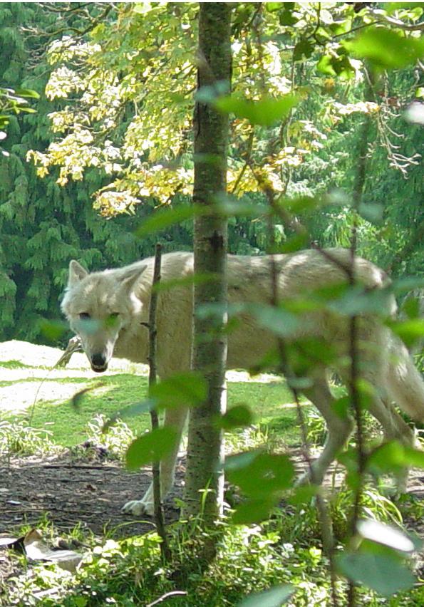 Wolves 024 by Elluka-brendmer