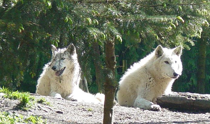 Wolves 026 by Elluka-brendmer