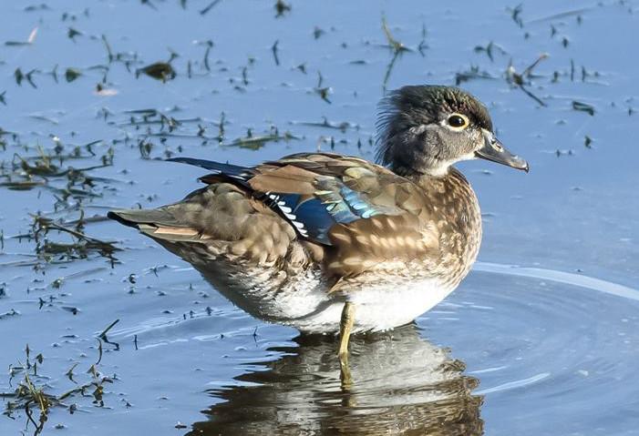 Wood duck 001 by Elluka-brendmer
