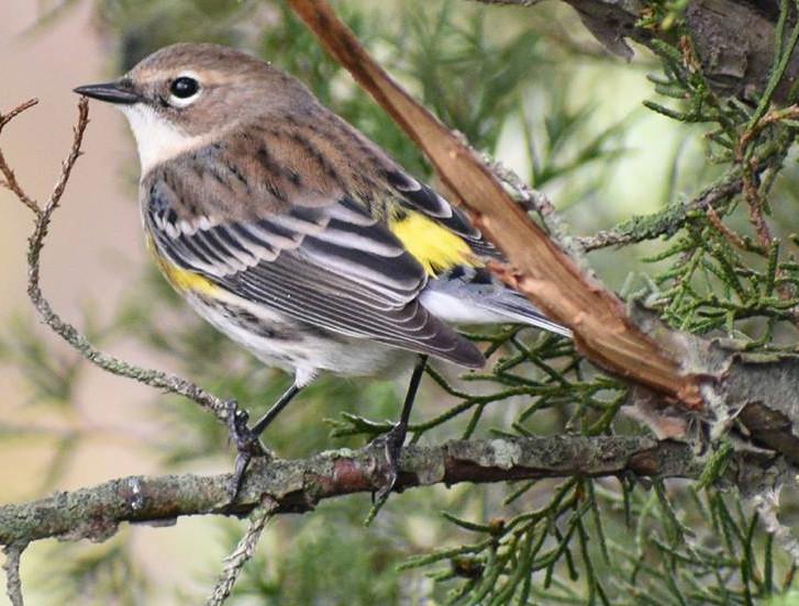 Yellow rumped warbler 002 by Elluka-brendmer