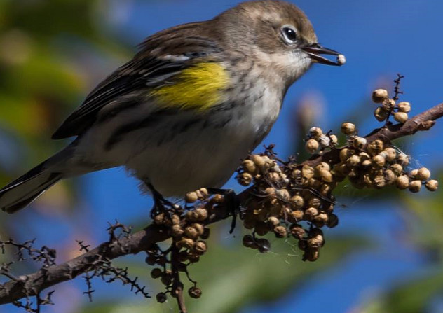 Yellow Warbler 001 by Elluka-brendmer