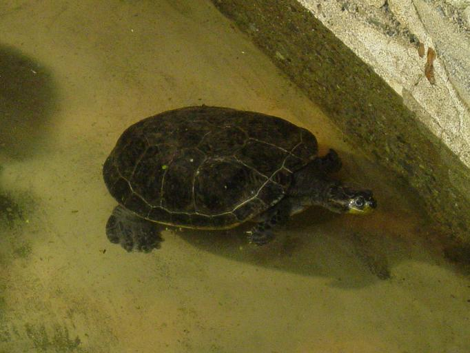 Yellow Spotted Side neck Turtle 003 by Elluka-brendmer