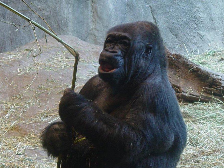 Gorilla 007 by Elluka-brendmer