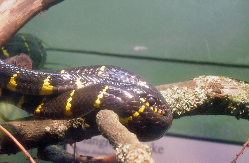 Mangrove Snake 001 by Elluka-brendmer