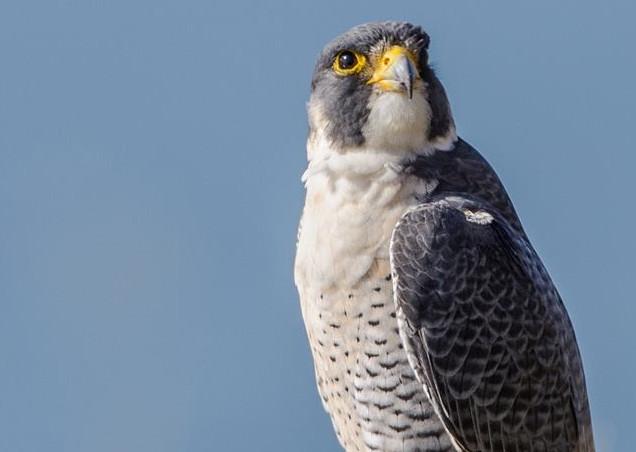 Peregrin Falcon 005 by Elluka-brendmer