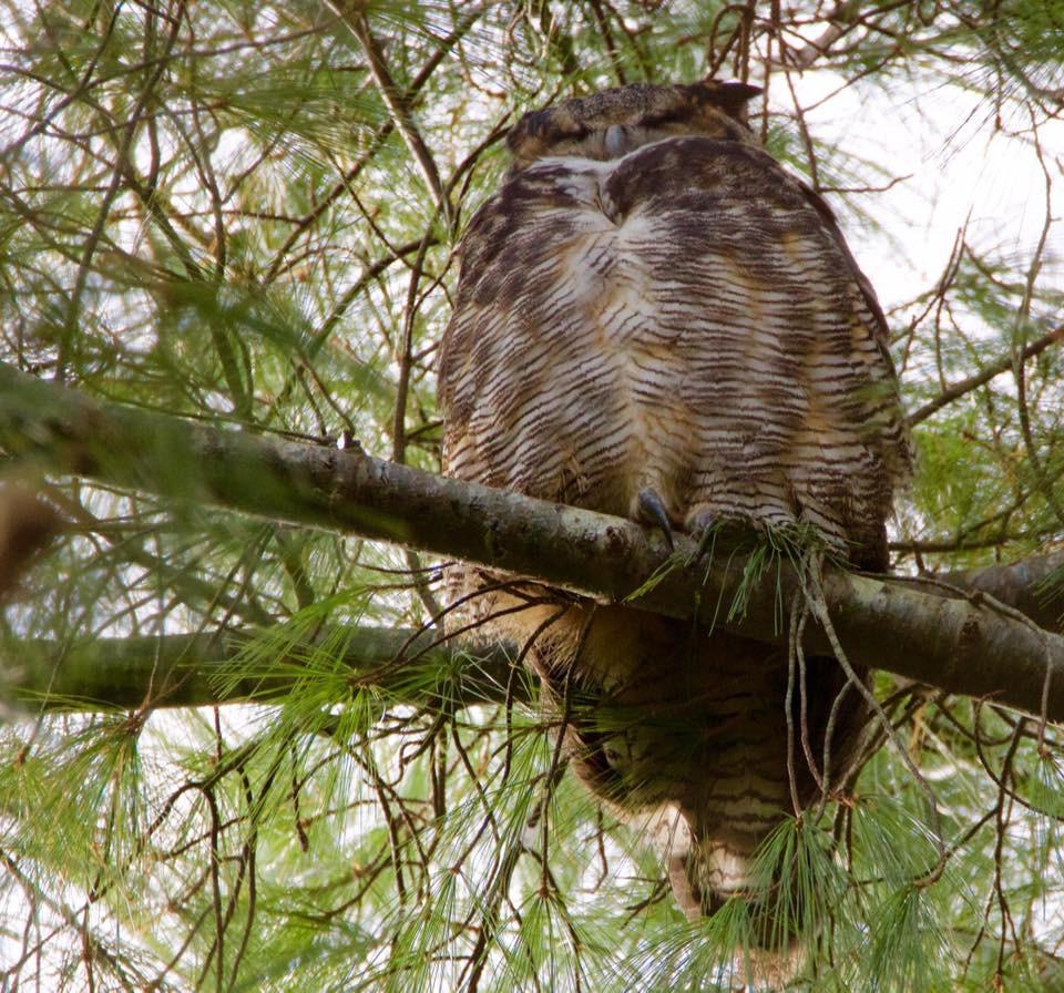Great Horn owl 002 by Elluka-brendmer