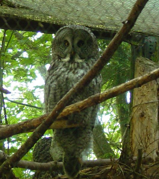 Great Grey Owl 006 by Elluka-brendmer
