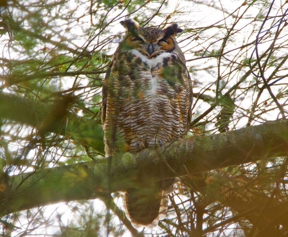 Great Horn owl 003 by Elluka-brendmer