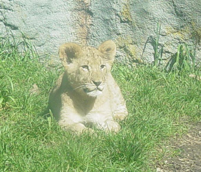 African Lion 007 by Elluka-brendmer