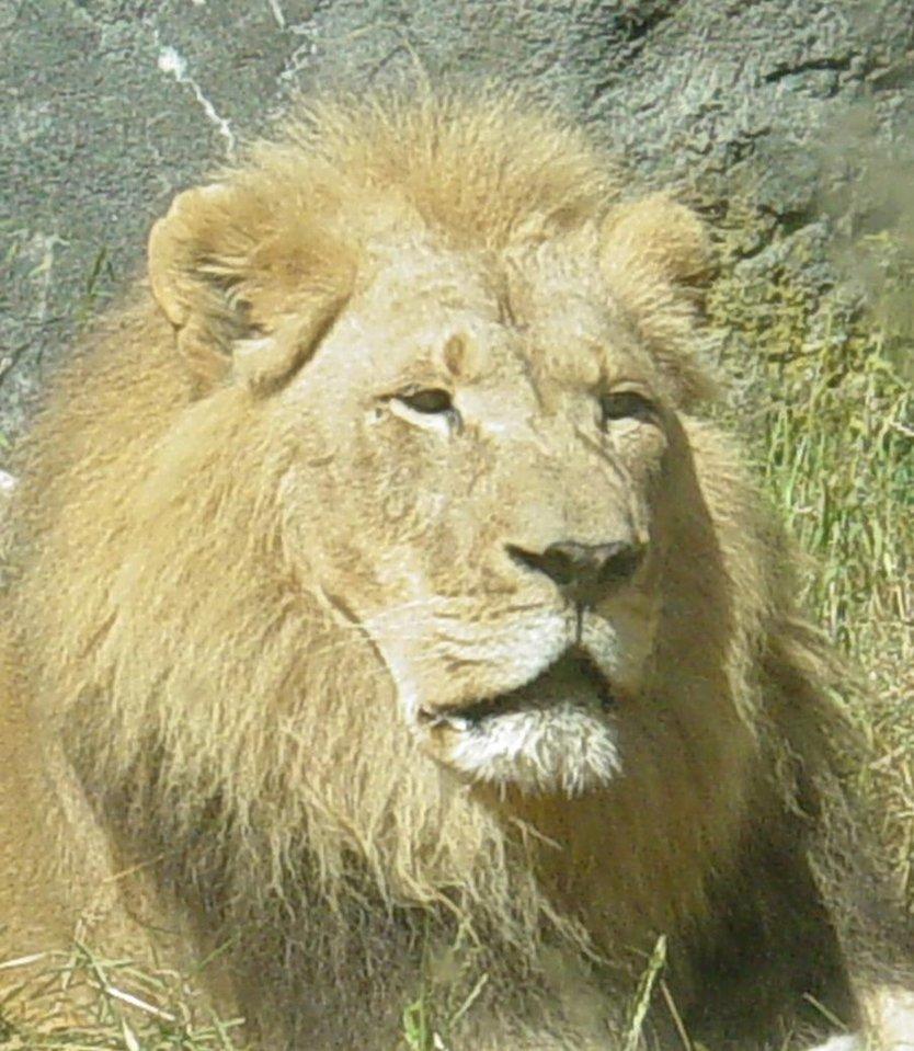 African Lion 008 by Elluka-brendmer