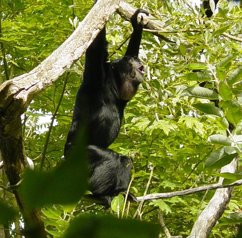Siamang 010 by Elluka-brendmer