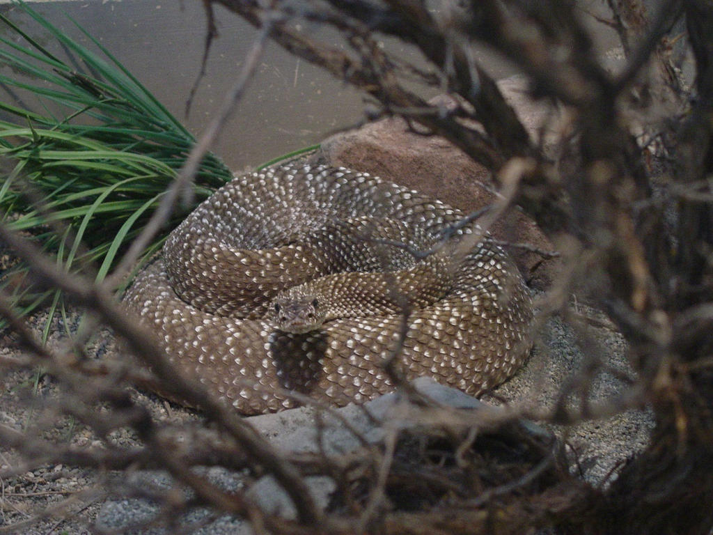 Urocoan Rattlesnake 002 by Elluka-brendmer