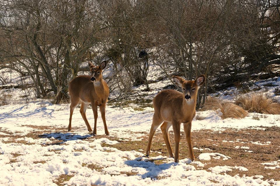White Tail Deer 005 by Elluka-brendmer
