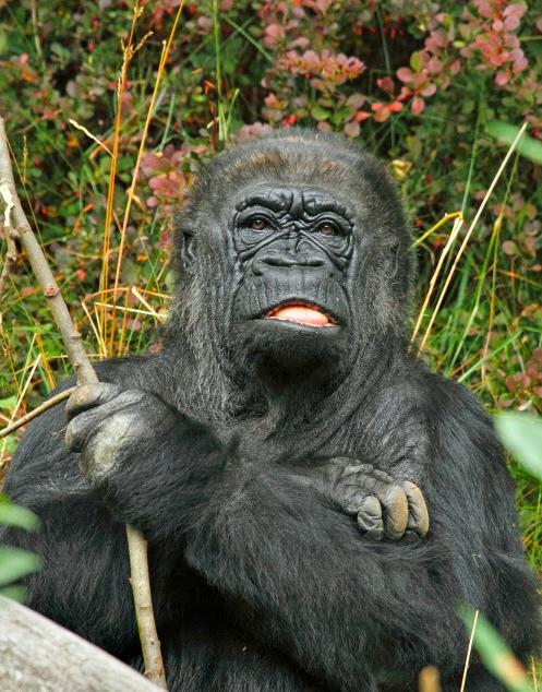 Gorilla 008 by Elluka-brendmer