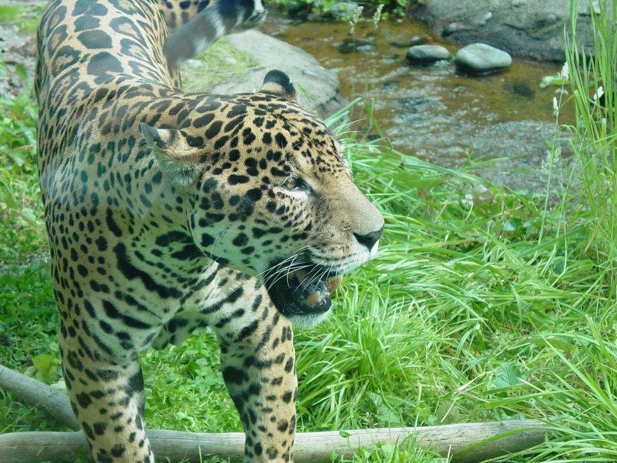Jaguar 007 by Elluka-brendmer