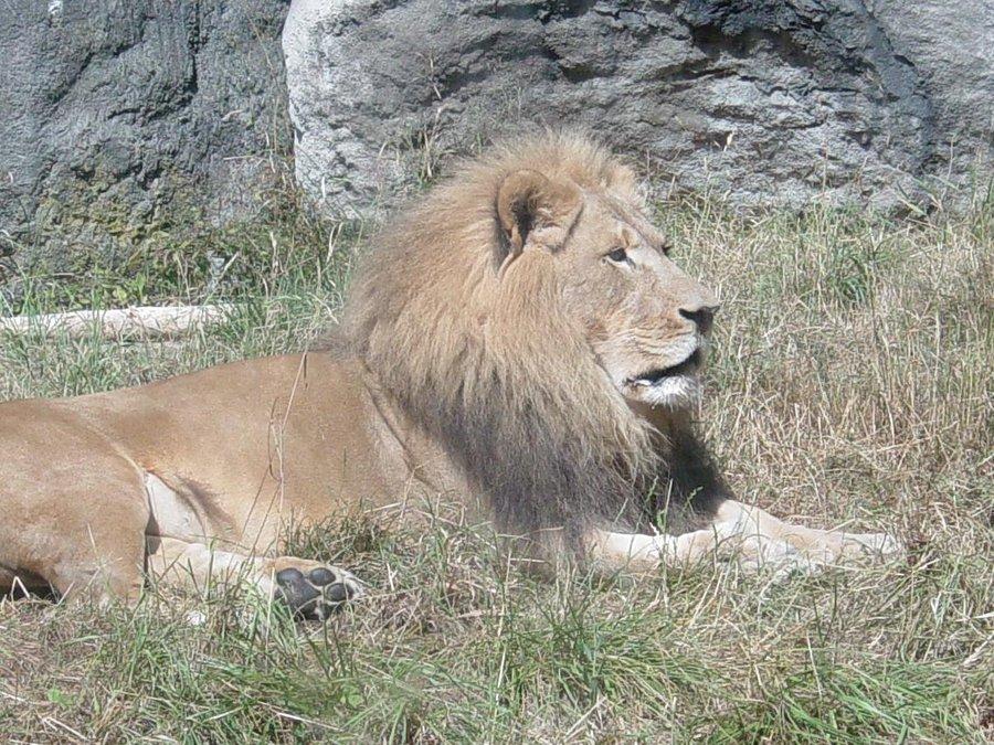 African Lion 009 by Elluka-brendmer